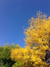 Autumn yellow - the brightest, happiest colour I know
